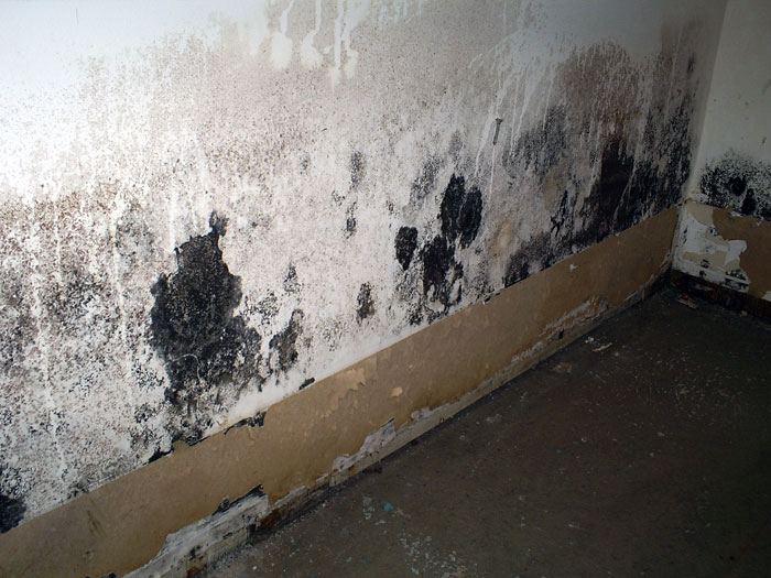 mouse droppings littering a piece of moldy fiberglass insulation in a